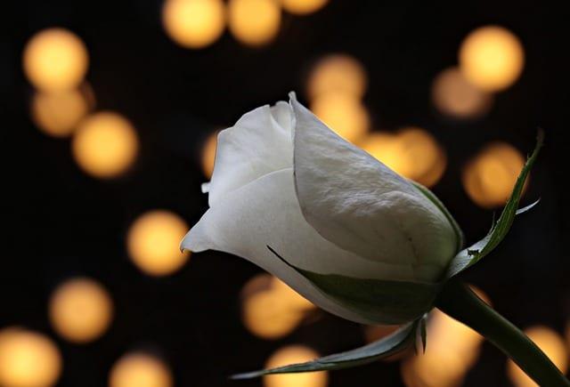 Rose blanche enterrement